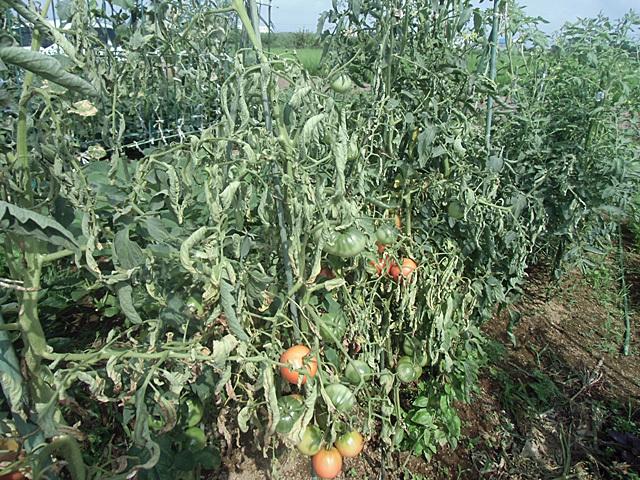 トマトの惨状