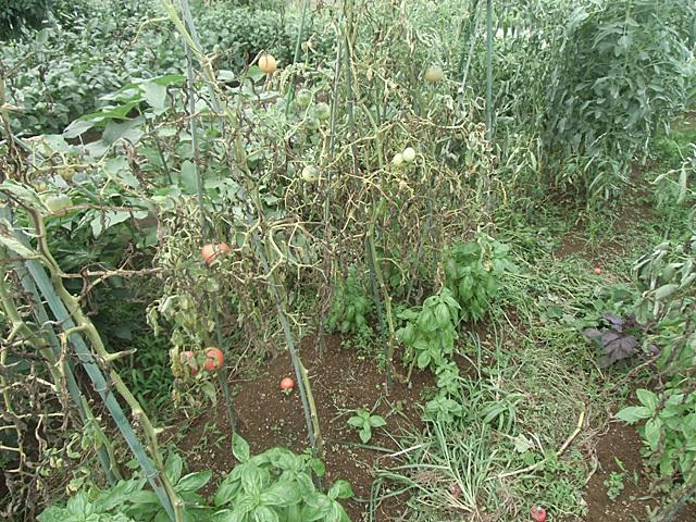 枯れ果てたトマト
