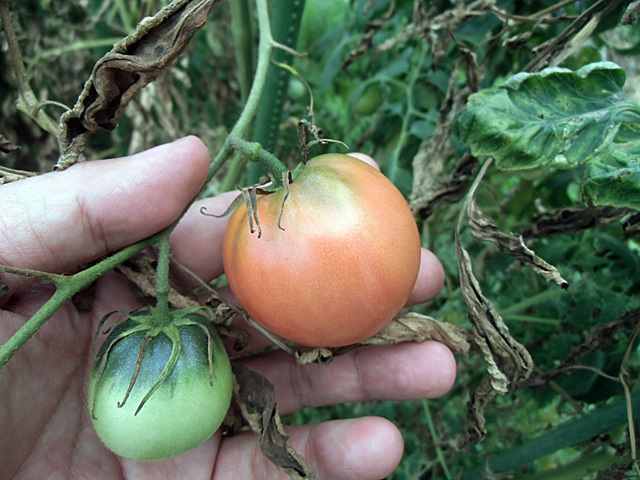トマトはだめです