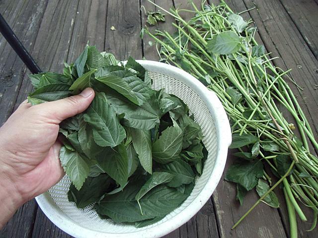 葉と茎を分ける作業