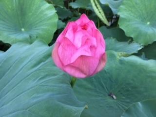 ハスの花①