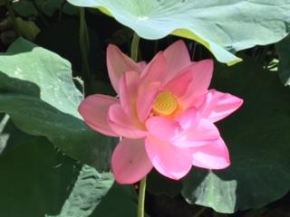 ハスの花③
