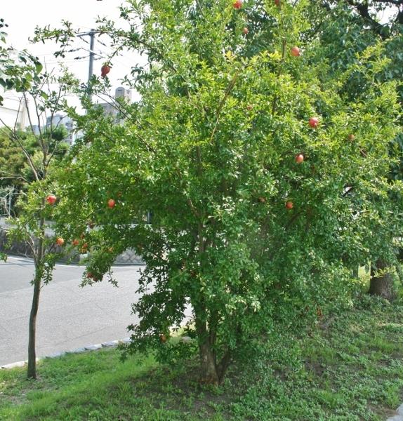 01 ザクロの木 IMG_9976 (574x600)