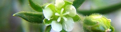 sagina_japonica.jpg