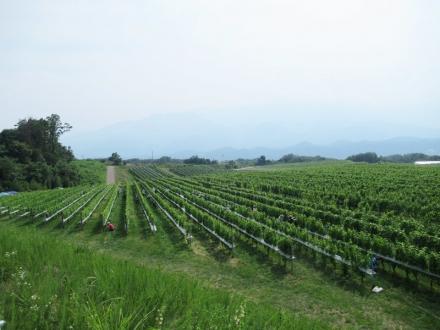 明野のブドウ畑