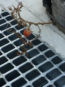 赤いトマト2IMG_1211
