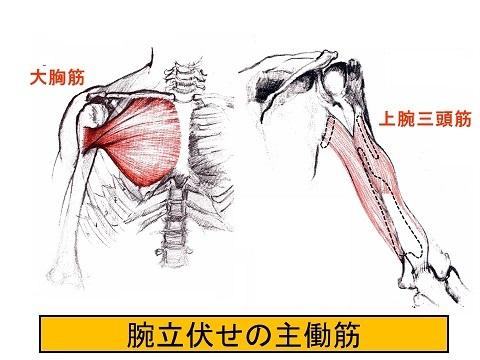 大胸筋と上腕三頭筋
