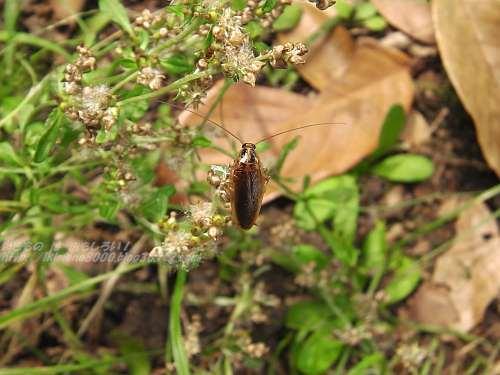 モリチャバネゴキブリ