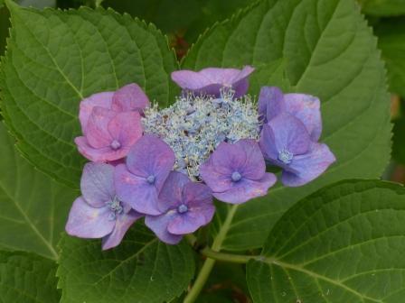 道後公園 紫陽花 1