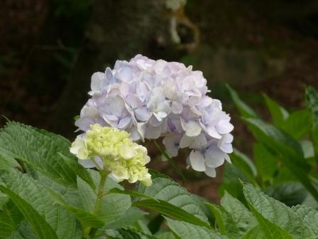 道後公園 紫陽花 3