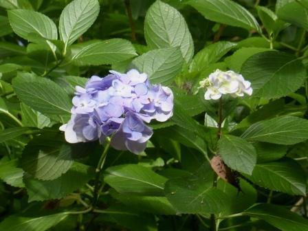 浄瑠璃寺 紫陽花 1