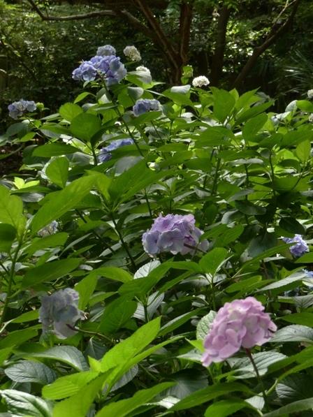 浄瑠璃寺 紫陽花 2