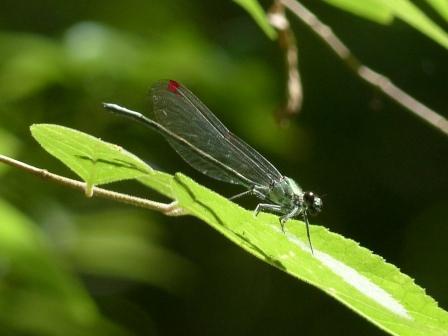 ニホンカワトンボ ? ♂ 透明翅型
