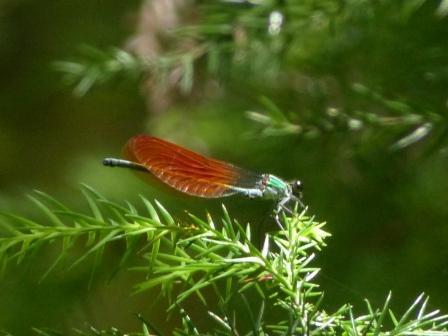 ニホンカワトンボ ? ♂ 橙色翅型
