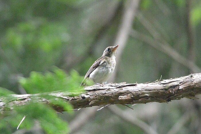 キビタキ幼鳥クロップs