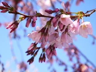 Sakura-Kaika17