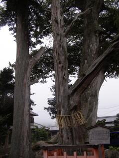 梅田神社ムロノキ