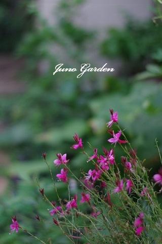 ピンクのガウラ170909
