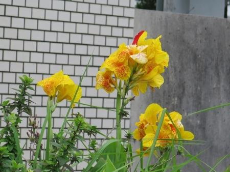石垣島 カンナ