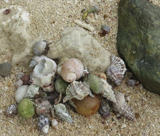 石垣島 電信屋下の浜 ヤラボの実とオカヤドカリ