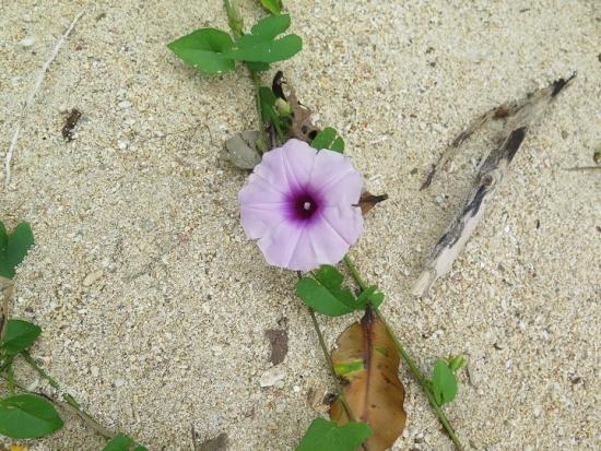 石垣島 電信屋下のビーチ ソコベニヒルガオ
