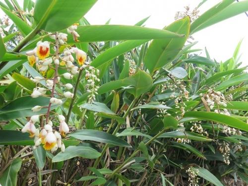 石垣島 月桃
