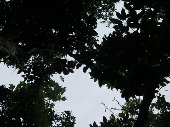 石垣島 ヤラブ岳 リュウキュウアサギマダラ