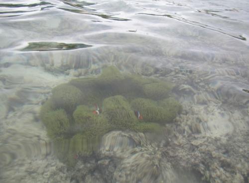 波照間ニシハマ カクレクマノミ