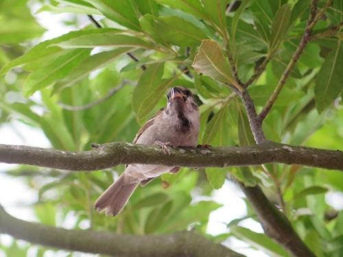 ディズニーシー スズメの若鳥