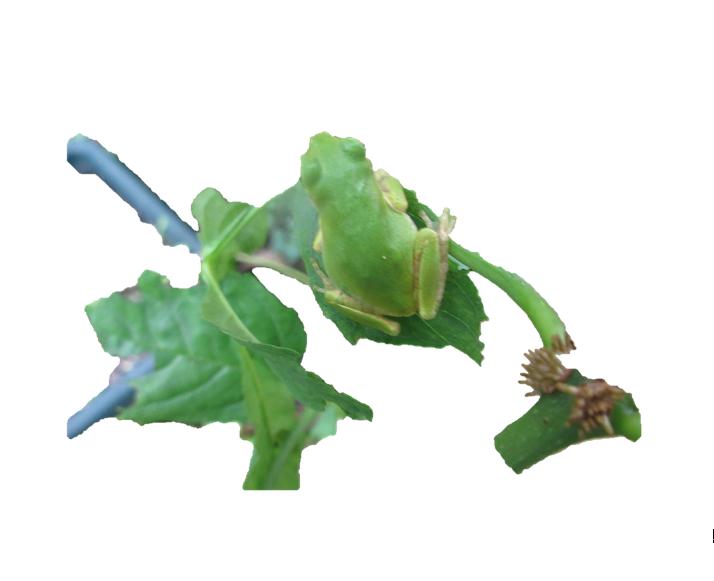 背景なし蛙