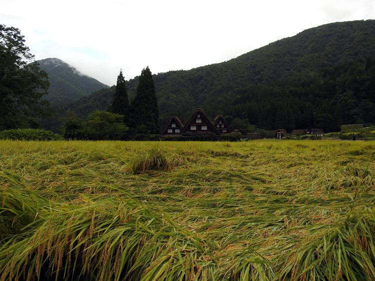 白川郷では稲刈りなどの風景が見受けられる季節です1