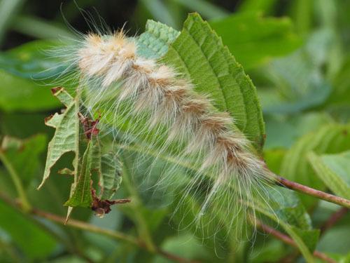170726 オビガ幼虫