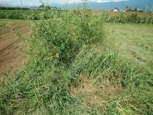 naganegi (1)