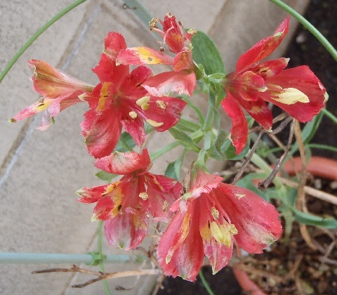 Alstroemeria-Red_Star10-2017.jpg