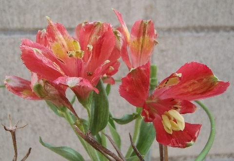 Alstroemeria-Red_Star12-2017.jpg