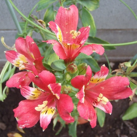 Alstroemeria-Red_Star5-2017.jpg