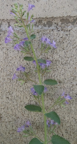 Catmint_WalkersLow2-2017.jpg