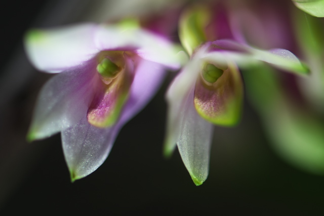 Dendrobium miyakei ✕ Dendrobium smilliae-04