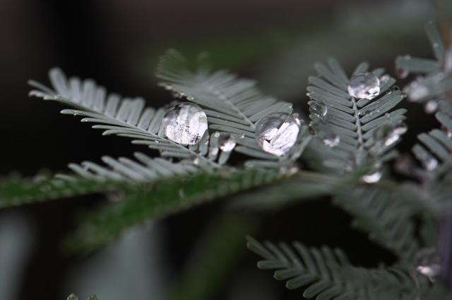 アカシア・パープレア(Acacia baileyana purpurea)-02