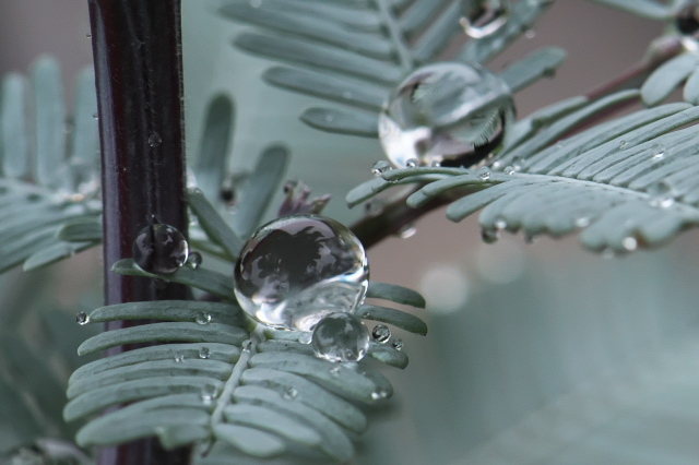 アカシア・パープレア(Acacia baileyana purpurea)-04