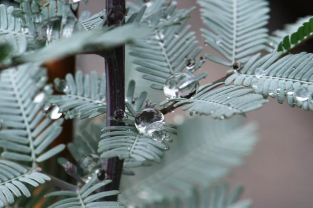 アカシア・パープレア(Acacia baileyana purpurea)-03
