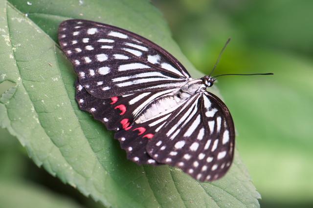 アカボシゴマダラ (Hestinus assimilis)-02
