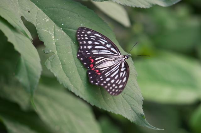 アカボシゴマダラ (Hestinus assimilis)-01
