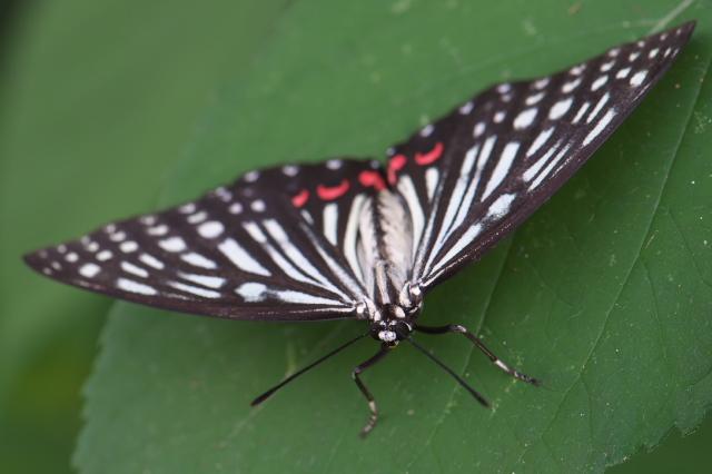 アカボシゴマダラ (Hestinus assimilis)-03