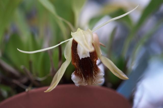 Coelogyne speciosa(セロジネ スペシオサ)-01