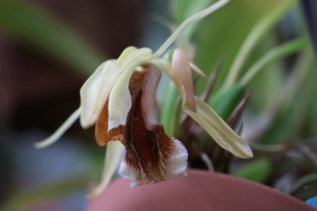 Coelogyne speciosa(セロジネ スペシオサ)-03