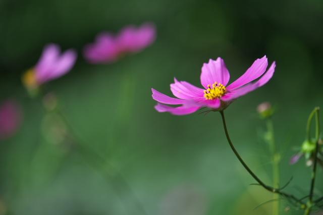 コスモスの花-02