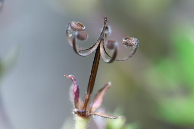 ゲンノショウコの種飛ばし-03