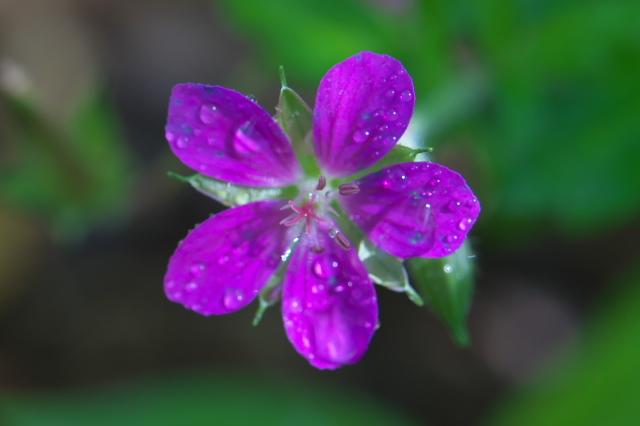 赤花ゲンノショウコ-14