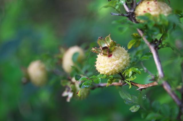 Rosa roxburghii normalis(十六夜バラの一重咲き)-01